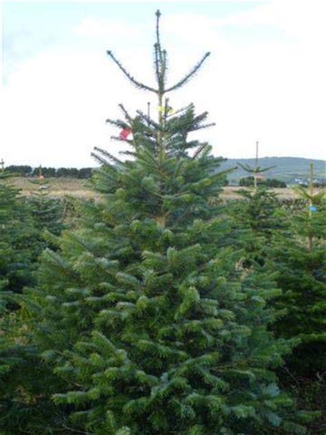 nordman fir christmas trees freshly cut scottish christmas