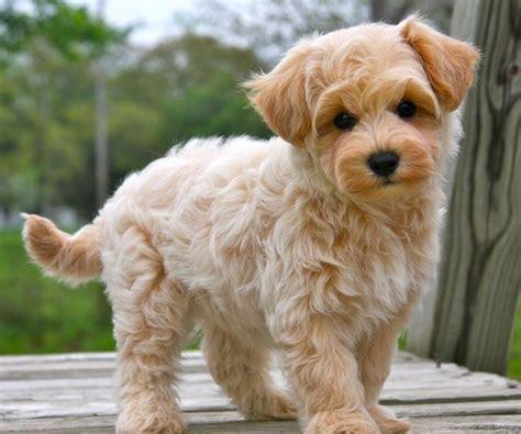 pug puppies for sale houston tx best 25 miniature pugs for sale ideas on bulldog puppies miniature