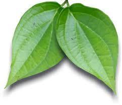 Obat Ejakulasidini Buah Pinang K penyakit keputihan dadan 22 herbalisme health