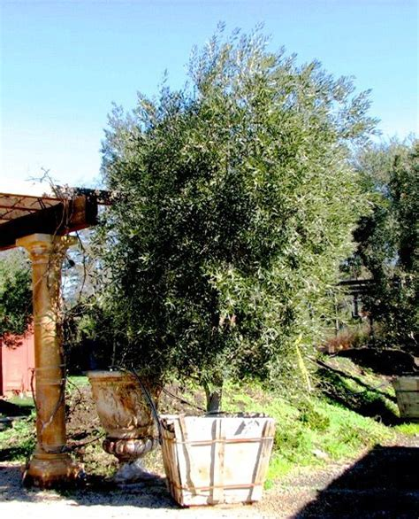 swan hill fruitless olive tree my orchard pinterest trees olive tree and swans