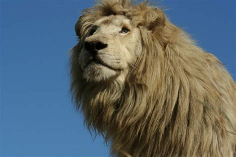 lion film download download white lion movie for ipod iphone ipad in hd divx