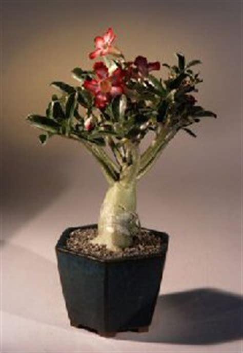 desert rose bonsai tree largeadenium obesum