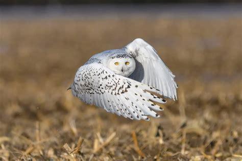 amazoncom snowy owl 10 cool facts snowy owls wildlife workshops