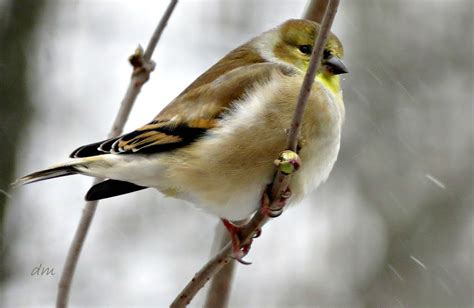 panoramio photo of goldfinch in winter plumage