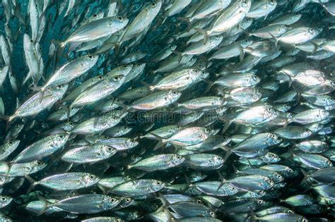 Sarden Mackerel Botan A1 2 sardine school of fish underwater stock photo image 64078703