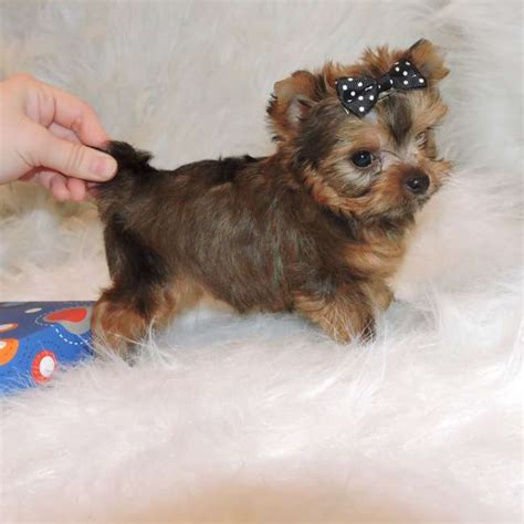 golden yorkies teacup silky terrier puppies for sale breeds picture