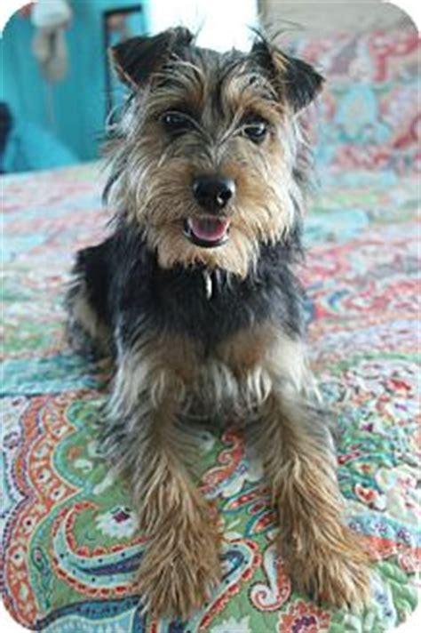 yorkie standard yorkie terrierschnauzer standard mix for adoption in breeds picture