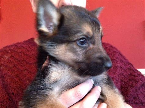 german sheprador puppies for sale german shepherd puppies now ready breeds picture