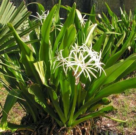 khasiat  manfaat bunga bakung  rematik sakit gigi