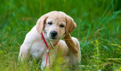 fleas on dogs most important steps for preventing fleas on dogs how to do it