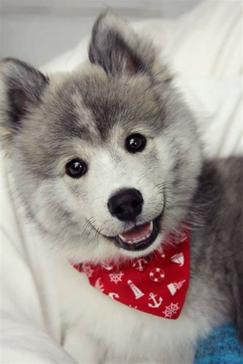 what is a pomsky puppy how much are pomsky puppies