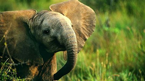 baby elephant wallpaper  images