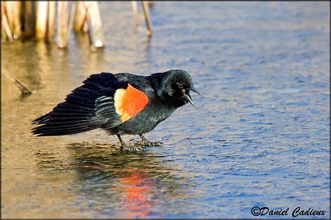 red winged blackbird habitat