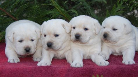 labrador or golden retriever best family dogs run labrador retrievers and golden retrievers website quality raised puppies