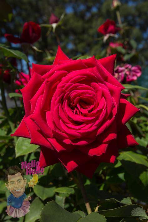 loving memory ft standard rose   plants