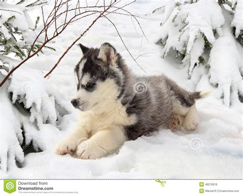 winter puppy husky puppy in a winter forest stock photo image 48276918