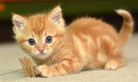 cute baby cat hd wallpaper gallery