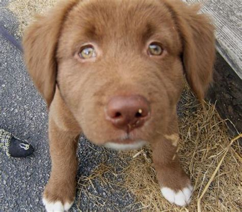 chocolate lab golden retriever mix puppies chocolate lab husky mix quotes