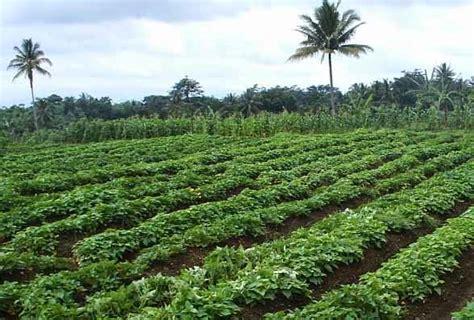 Bibit Ubi Jalar cara perawatan tanaman ubi jalar