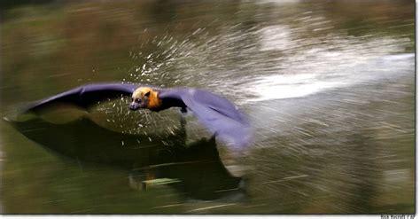 volpe volante australiana radar s bat education