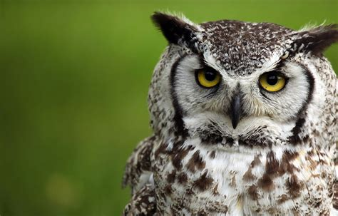 hinterland who s who great horned owl