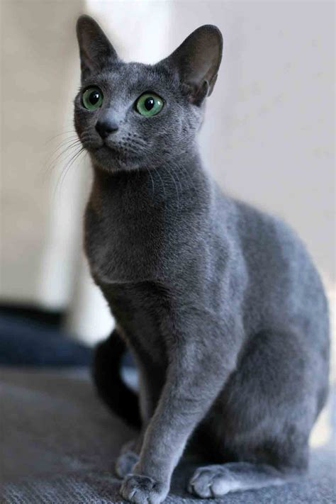 Blee Cat 2 pin russian blue mix a siamese mixed coat photo on