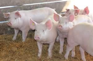 Pigs409
