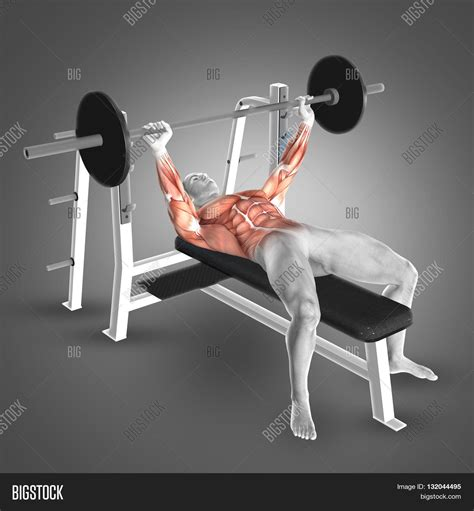 muscles used bench press 3d render male figure barbell bench image photo bigstock