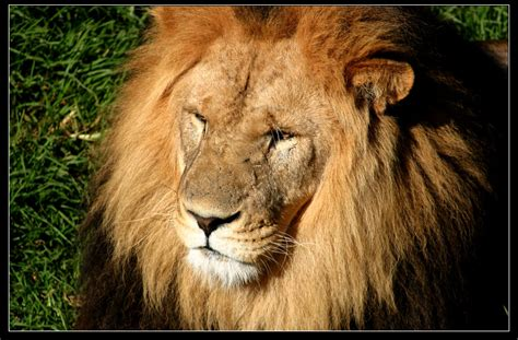 imágenes de leones juntos las mejores fotos de leones nunca antes vistas im 225 genes
