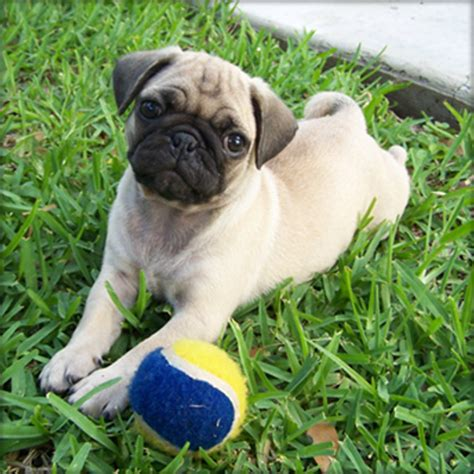 pug breeders adelaide adorable playful pug puppy adelaide dogs for sale puppies for sale adelaide