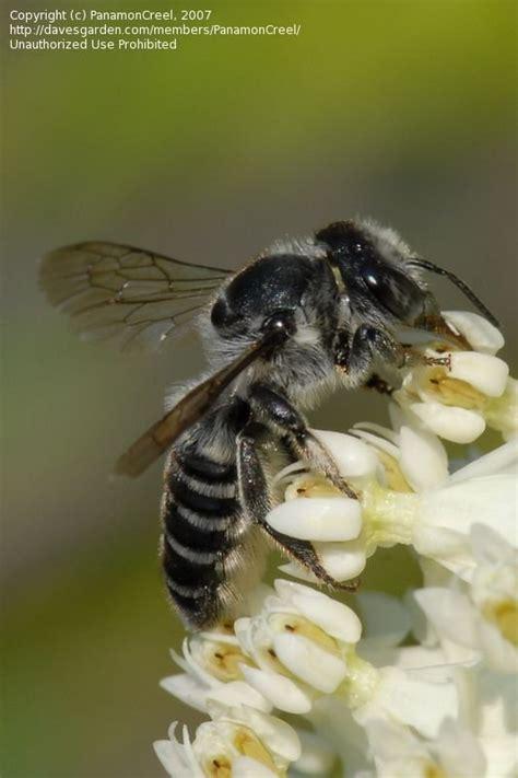 bug pictures alfalfa leafcutter bee megachile rotundata
