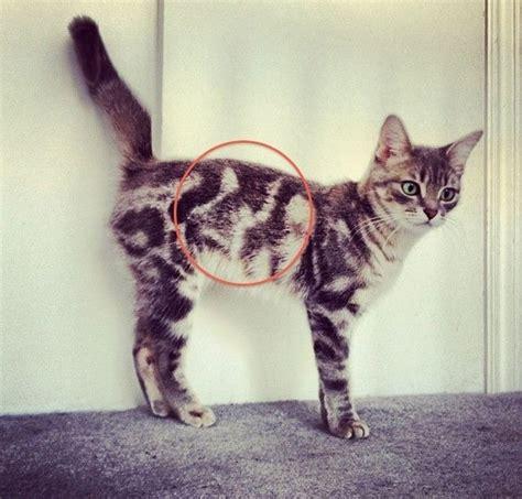 imagenes egipcias de gatos no creer 225 s lo que le pasa en el pelaje a este gato
