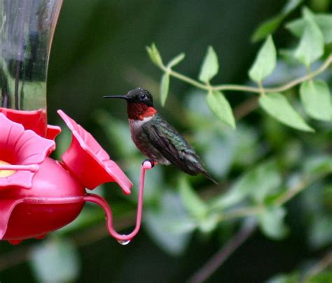 it s getting colder but hummingbirds haven t left the