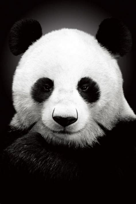 panda iphone wallpaper hd