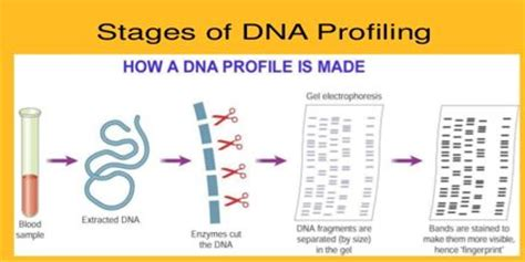 research paper on dna fingerprinting dna profiling research papers reportspdf819 web fc2