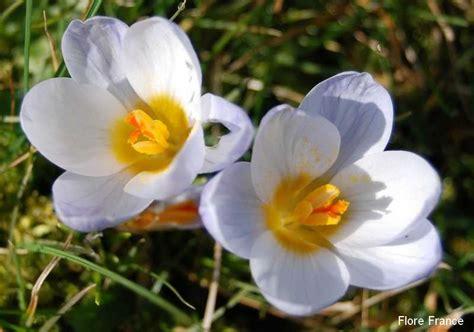 Crocus Plante Vivace Ou Annuelle by Plantes Oasis Crocus Crysanthus