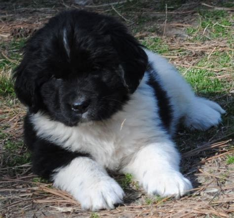 why is my drooling around the new puppy newfie hairstyles new style for 2016 2017