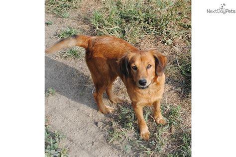 goldador puppies for adoption goldador puppy for adoption near st louis missouri b7411333 9722