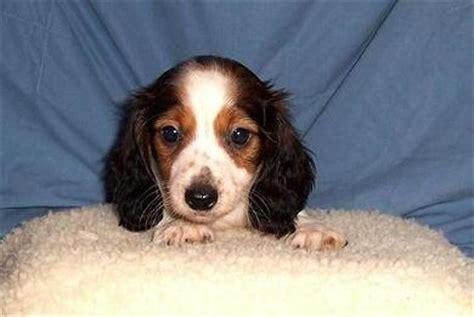 piebald dachshund puppies image gallery haired piebald dachshund