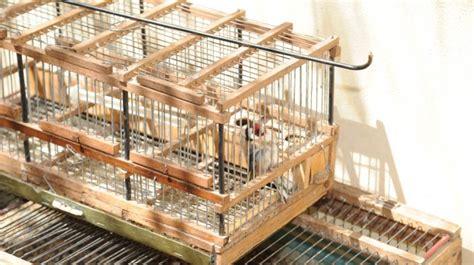 riproduzione cardellini di cattura in gabbia provava a cattura cardellini arrestato a castelbuono