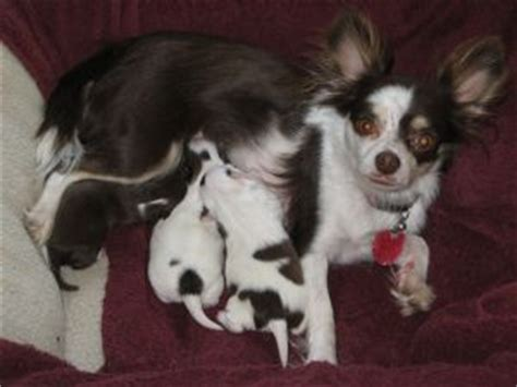 chihuahua puppies for sale in ga chihuahua puppies for sale in gainesville ga breeds picture