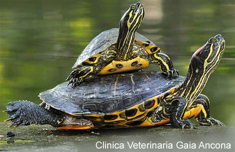 tartaruga d acqua alimentazione clinica veterinaria gaia ancona