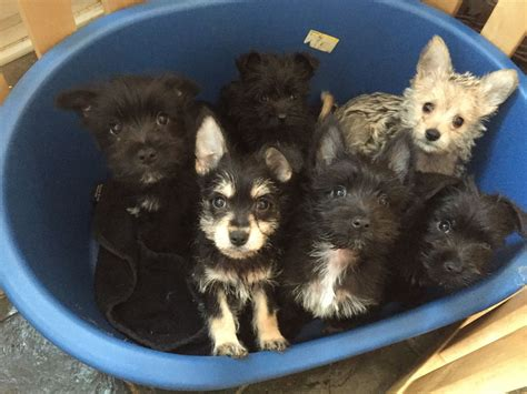pomeranian schnauzer mix puppies pomeranian x miniature schnauzer york pets4homes