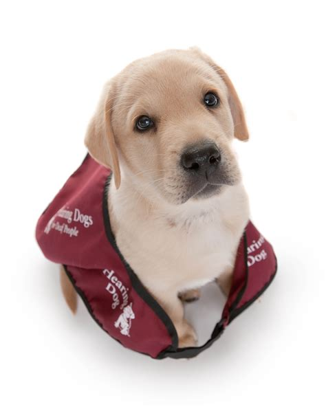 hearing dogs deaf news survey says hearing users get barked at by shopkeepers the limping