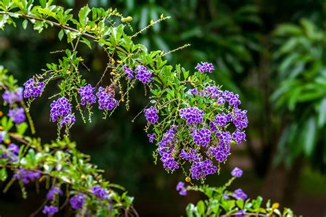 duranta plant care  growing guide