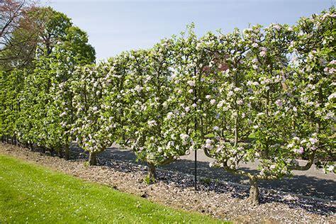 u cordon fruit trees higgins trained fruit trees