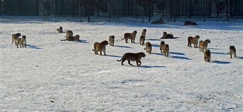 cina turisti per caso harbin tigri 2 viaggi vacanze e turismo turisti per caso