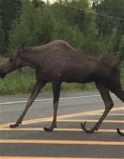 Anchorage Alaska Search Deformed Moose Archives Wide Open Spaces