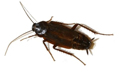 scarafaggio senza testa scarafaggi o blatte in casa scopri come eliminarli