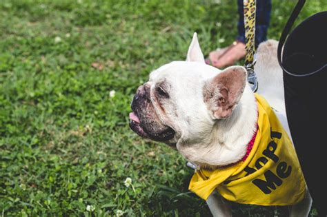 adoption new orleans fundraiser by new orleans bulldog rescue tulip the bulldog s recovery